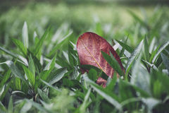 Fall leaf in green grass Stock Photos