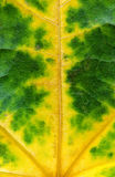 Fall leaf. Fall green yellow leaf, nice decoration texture royalty free stock image