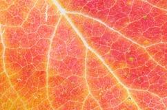 Free Fall Leaf Macro Stock Image - 27096691