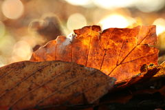 FALL LEAF MACRO. A close shot from some orange leaves during thanksgiving Royalty Free Stock Photography
