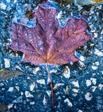 A fall leaf maple leaf captured on ground, natures abstract. Colorful Fall leaves captured on ground, natures abstract. Taken in Kentucky Royalty Free Stock Photos