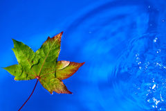 Fall leaf on the rain in a puddle, shallow dof Royalty Free Stock Photo