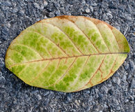 Fall leaf on road Stock Photography