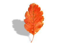 Fall leaf with shadow on white Royalty Free Stock Image