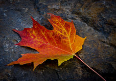 Fall Leaf. A single solitary leaf in beautiful fall colors just resting on a rock show off it's beauty Stock Photo