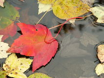 Fall: leaf sinking into pond. An autumn red maple leaf partly submerged into a pond Stock Photos