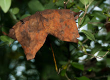 Fall leaf sitting on green tree leaves. Macro closeup. Rustic orange autumn leaf on a green background. Beautiful fall leaf sits on a natural background of Stock Photography