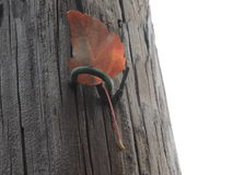 Fall leaf stuck in electricity pole. Odd place for an autumn leaf Stock Photography