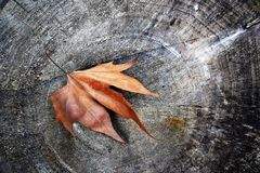 Fall leaf on the stump royalty free stock photography