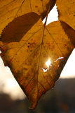 Fall leaf in sun Royalty Free Stock Photo