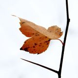 Fall leaf and thorn Royalty Free Stock Photos