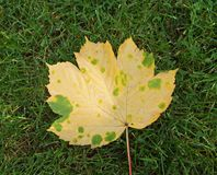 Fall leaf with yellow and green royalty free stock photo
