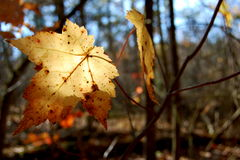 Fall Leaf. A yellow fall leaf shines in the sun Stock Photography
