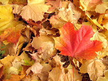 Fall leafs Stock Images