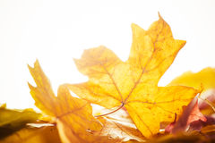 Fall leafs closeup Royalty Free Stock Photo