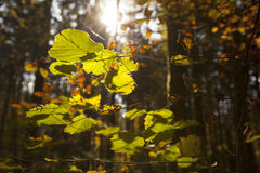 Fall leafs royalty free stock images