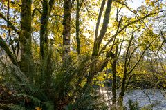 Fall forest and ferns. Fall leave and green fern near river edge Royalty Free Stock Image