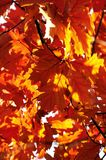 Fall leaves. Orange and red fall leaves Stock Images