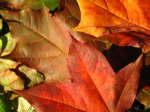 Fall leaves. Beautiful colored fall leaves - Great Autumn background Stock Photo