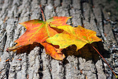 Fall Leaves. Two Maple leafs that are changing color for fall Royalty Free Stock Photo