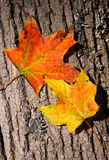Fall Leaves. Two Maple leafs that are changing color for fall Royalty Free Stock Photography