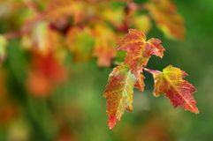 Fall leaves. A branch with fall (autumn) leaves Royalty Free Stock Image