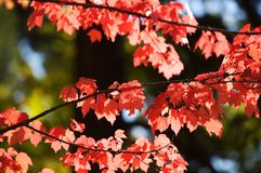 Fall leaves. Colorful leaves on a tree Royalty Free Stock Image