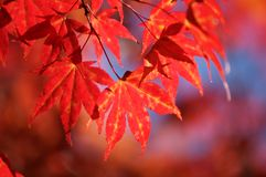 Fall leaves. Colorful leaves on a tree Royalty Free Stock Images