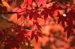 Fall leaves. Colorful leaves on a tree Stock Photo