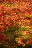 Fall leaves. Colorful leaves on a tree Royalty Free Stock Photo