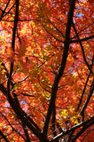 Fall leaves. Colorful leaves on a tree Stock Image