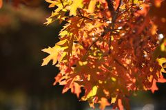 Fall leaves. Colorful leaves on a tree Stock Images