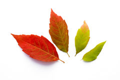 Fall Leaves. Four leaves from the same tree changing to fall color Stock Images