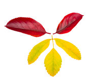 Fall leaves. Autumn leaves. Isolated on white Stock Photos