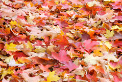 Fall Leaves. A Pile of Colorful Fall Leaves Stock Photos