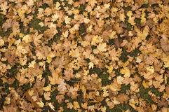 Fall leaves. Lots of fallen Autumn Oak leaves scattered on the ground Stock Images