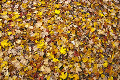 Fall leaves. A blanket of fall leaves on the ground Stock Photo