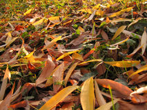 Fall leaves. Colored autumn leaves on the ground Stock Photo