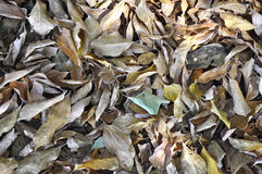 Fall leaves. Fall of dry leaves covering on ground Royalty Free Stock Photos