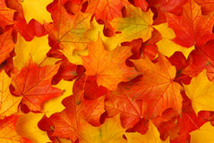 Fall leaves. Red and yellow  fall maple leaves Stock Images