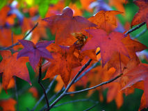 Fall Leaves. Colorful Fall, Autumn Leaves Changing Colors. Virginia U.S.A Royalty Free Stock Photos