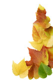 Fall leaves. Isolated on white backgrond Stock Photo