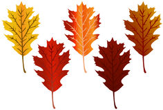 Fall Leaves. Brilliant oak leaves in various fall colors Stock Photography