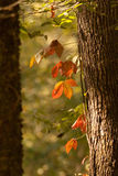 Fall leaves. With autumn colors Stock Images