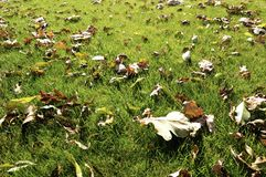 Fall leaves. A grass covered with fall leaves stock images