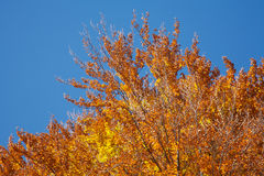 Fall leaves. Golden yellow and brown leaves, ob branches. Blue sky Stock Photos