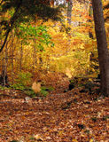 Fall of the leaves. Sunny day in maple forest in october Royalty Free Stock Images