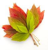 Fall leaves. On  white Royalty Free Stock Photo