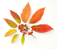 Fall leaves. On  white Royalty Free Stock Image