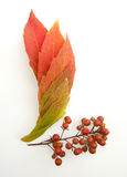 Fall leaves. On  white Royalty Free Stock Photos